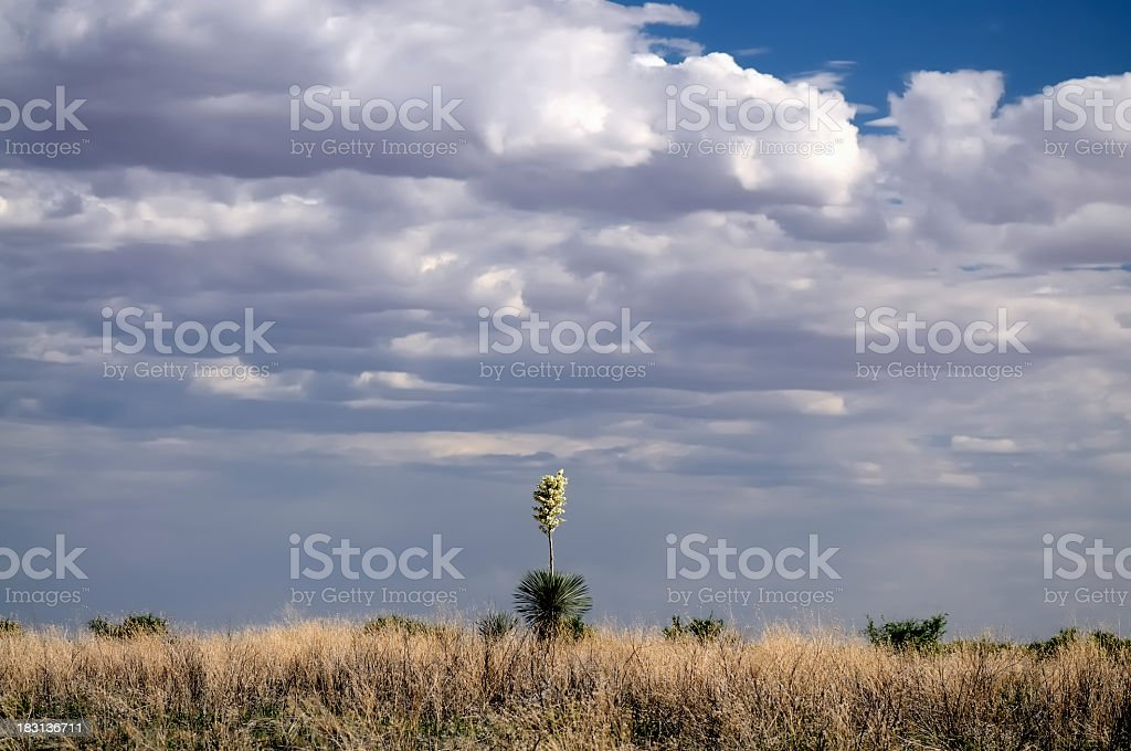 Chaparral Yucca,Hesperoyucca whipplei, And Storm Clouds stock photo