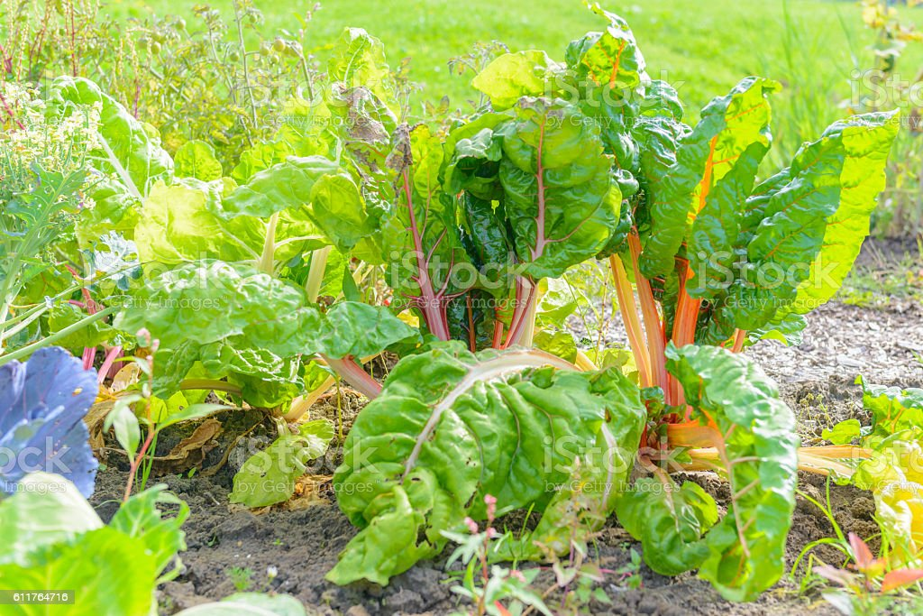 Chard growing in an organic vegetable garden stock photo