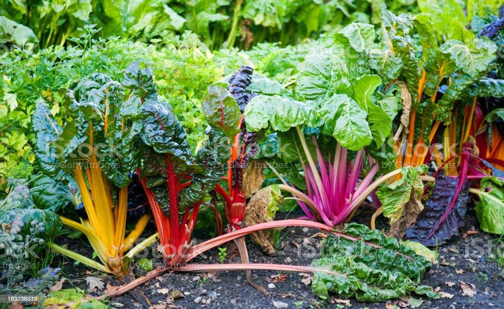 Chard, several colour varieties stock photo