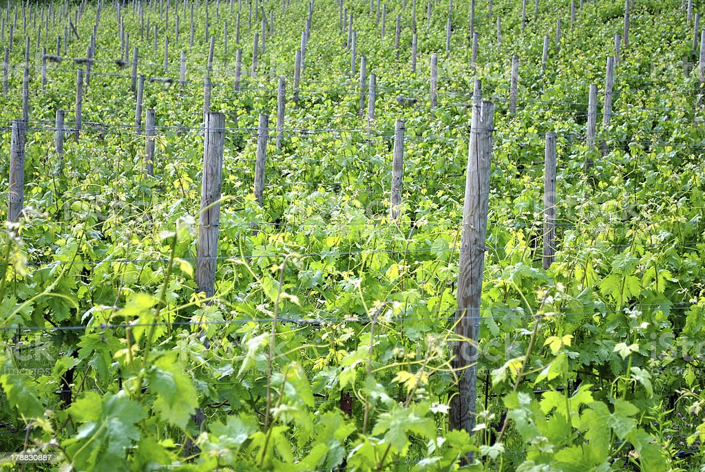 chardonnay grape vines stock photo