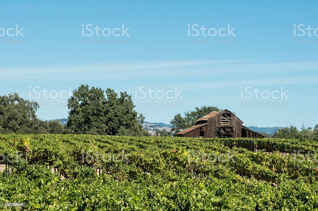 Chardonnay Grape Vineyard and Abandoned Barn stock photo