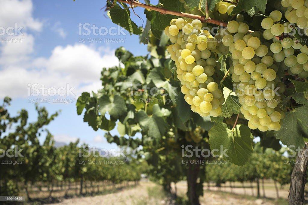 Chardonnay grapes on vine stock photo