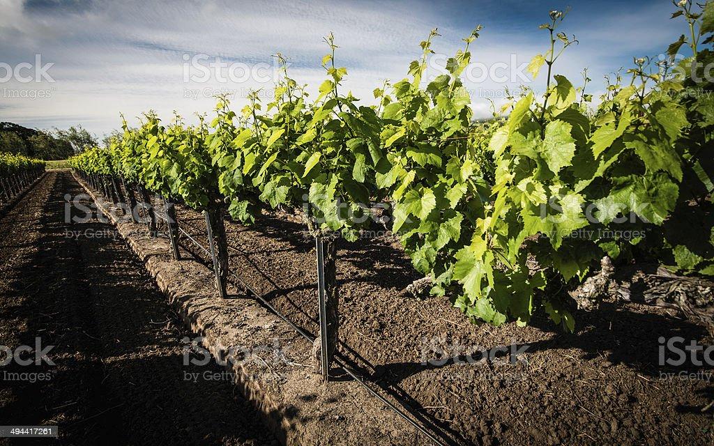 Chardonnay stock photo