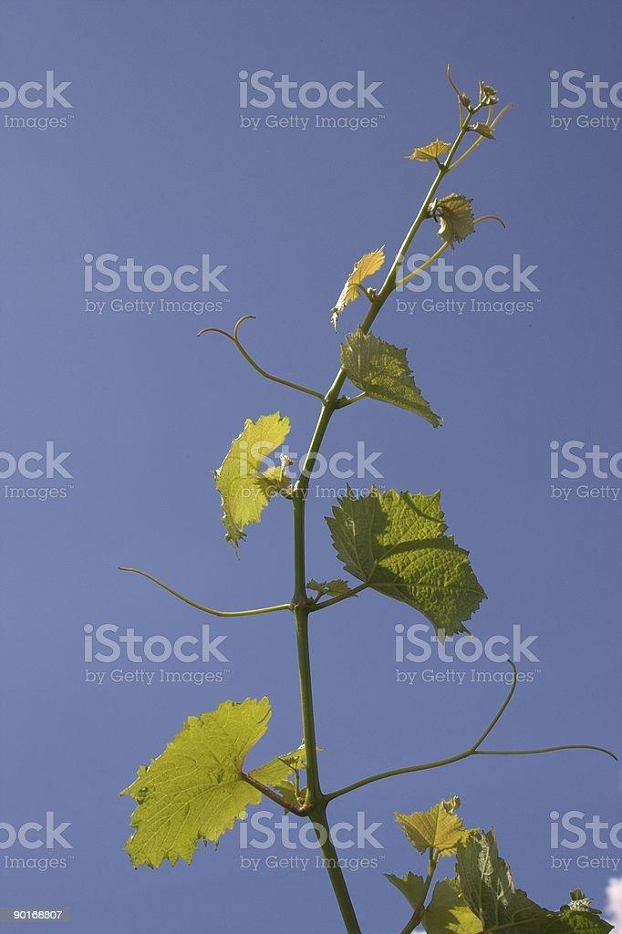 Chardonnay Vine royalty-free stock photo