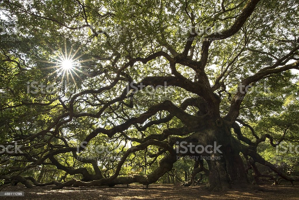 Charleston Angel Oak Tree stock photo