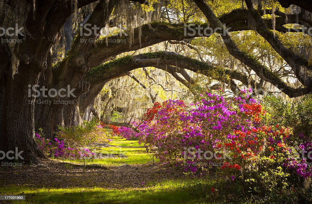 Charleston SC Plantation Oak Trees Spanish Moss Azalea Spring Flowers stock photo