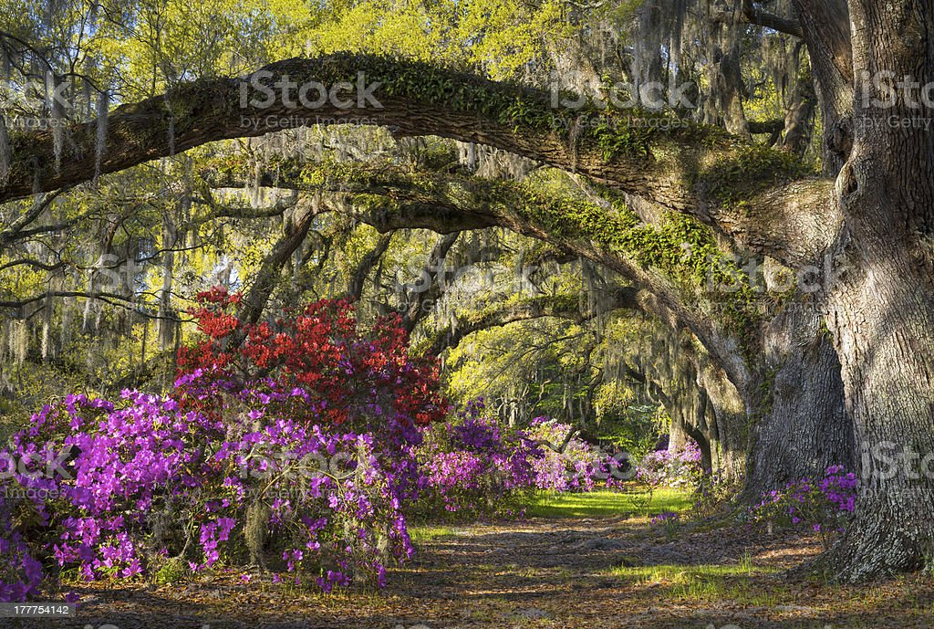 Charleston SC Spring Bloom Azalea Flowers South Carolina Plantation Garden stock photo