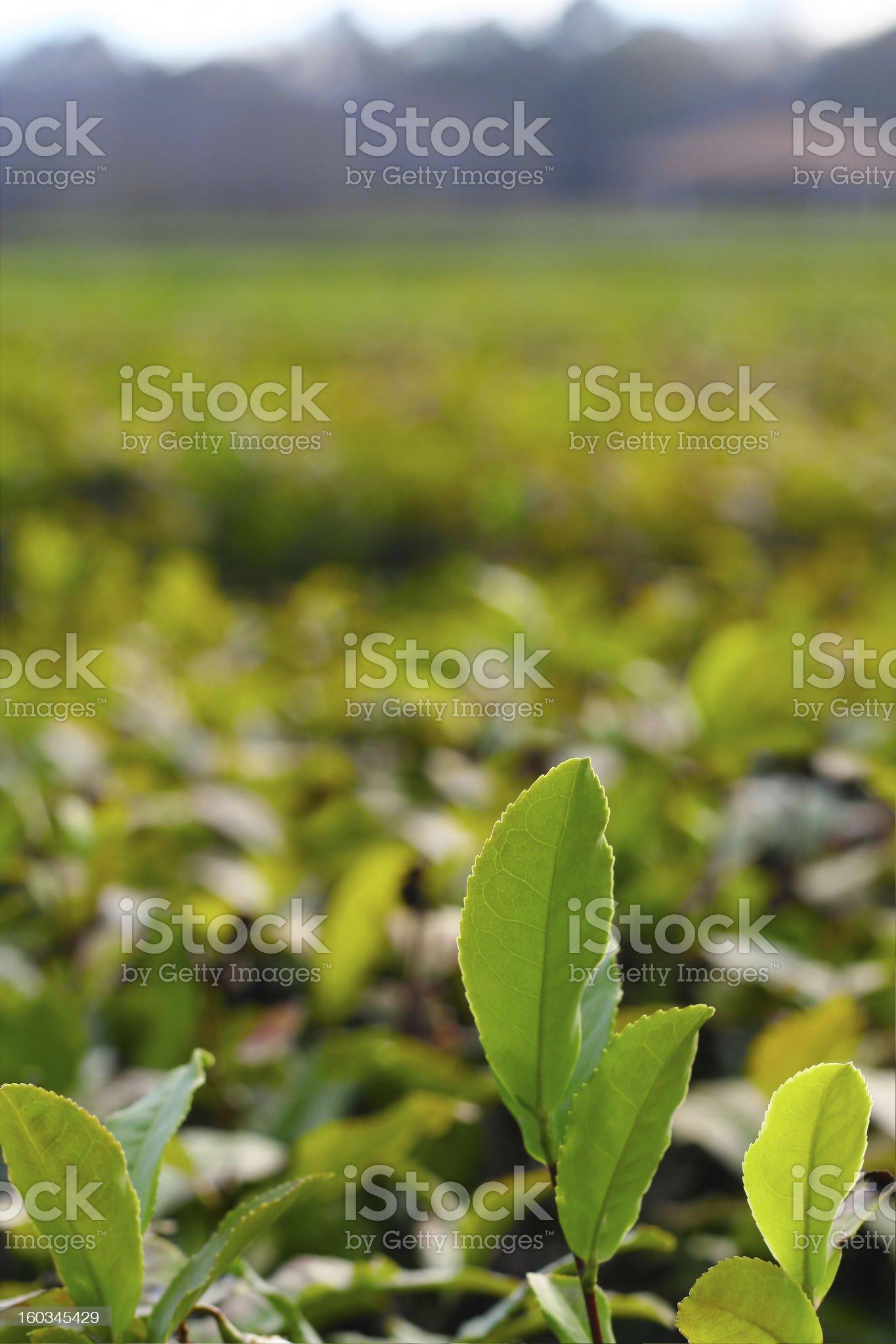 Charleston tea plantation royalty-free stock photo