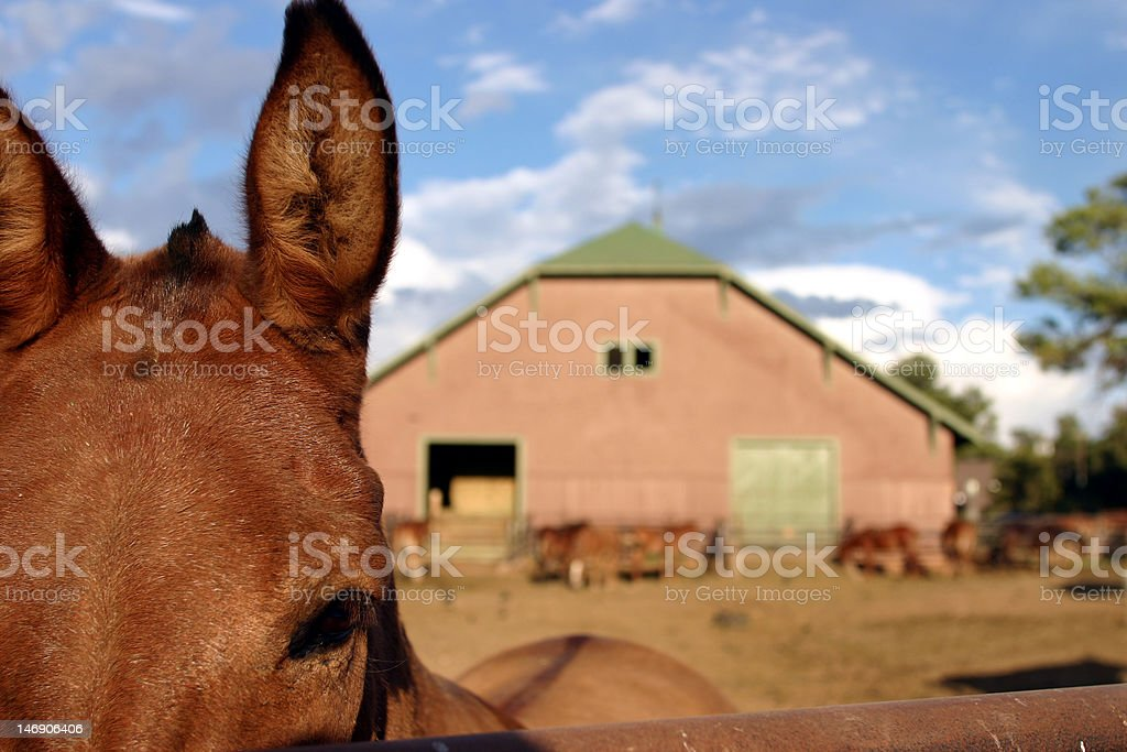 Charlie the Mule royalty-free stock photo