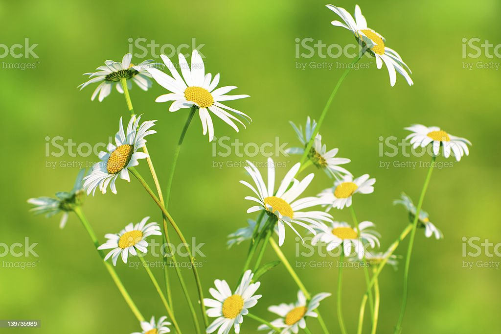 Charming camomiles royalty-free stock photo