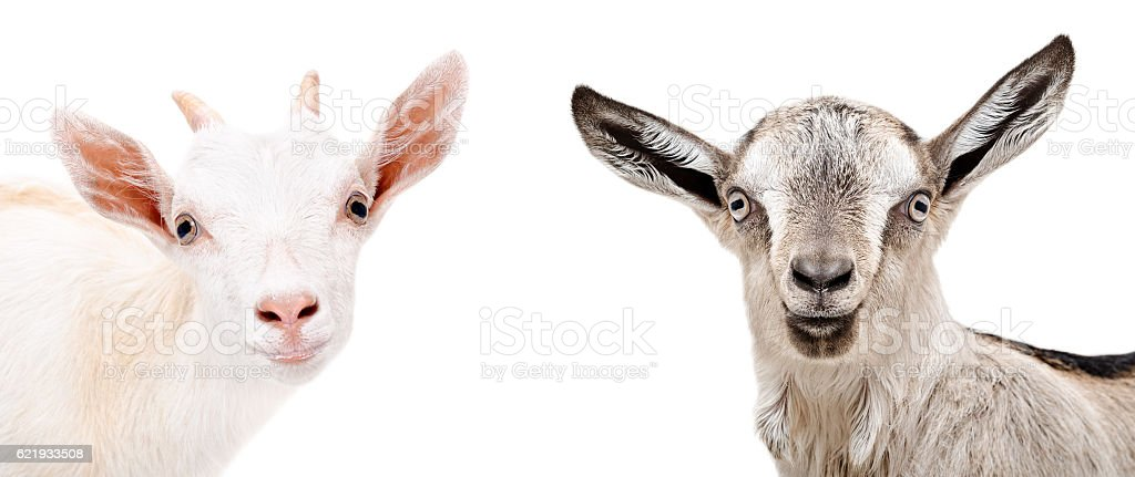 Charming goats, close-up portrait stock photo