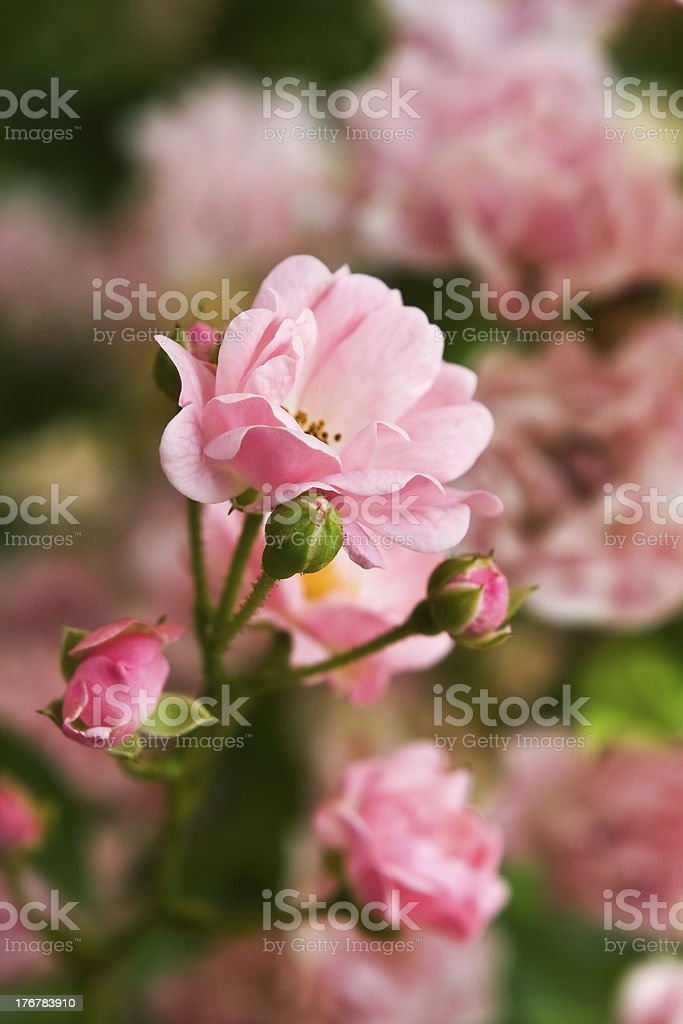 Charming pink roses royalty-free stock photo