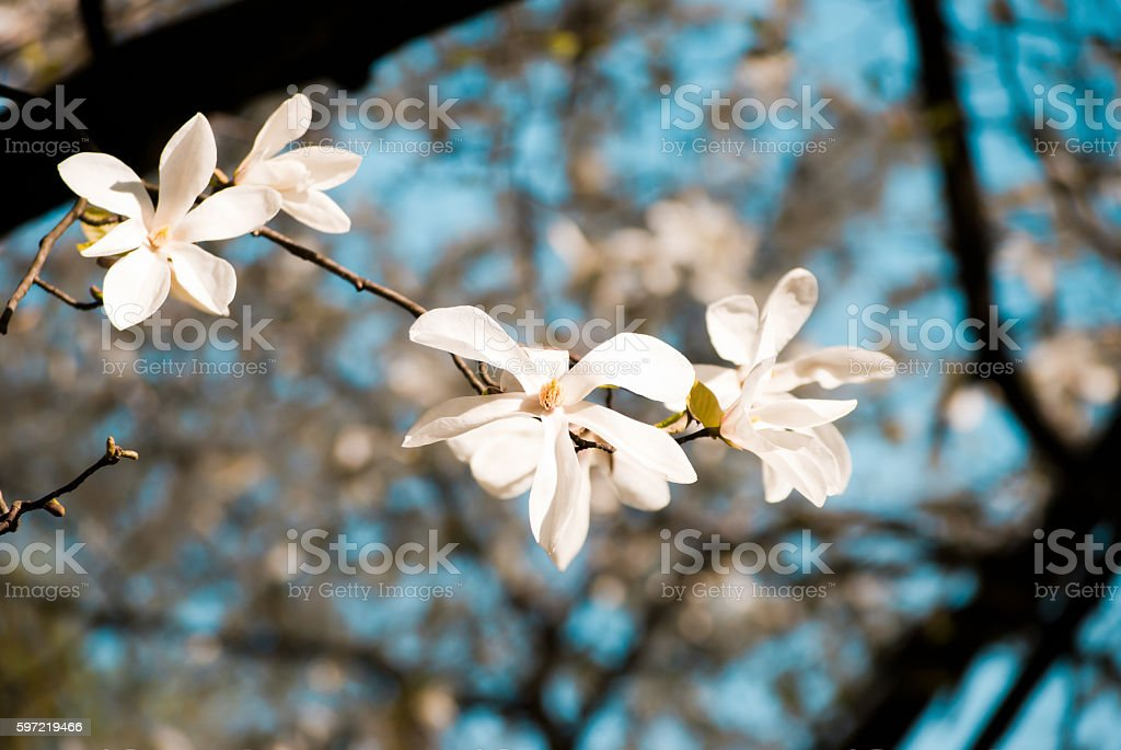 Charming white flowers of magnolia tree. Spring in Lviv, Ukraine stock photo