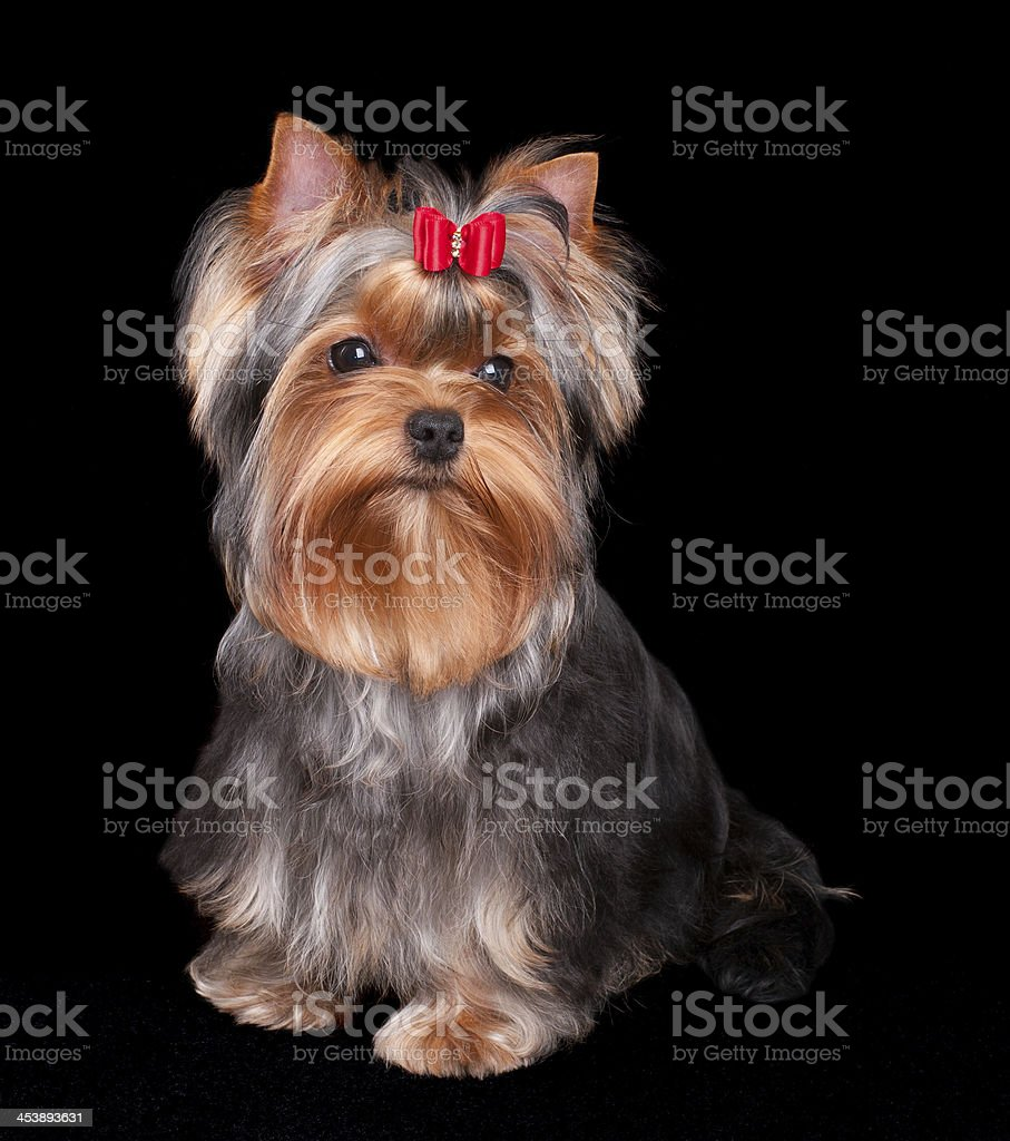 Charming Yorkshire Terrier royalty-free stock photo