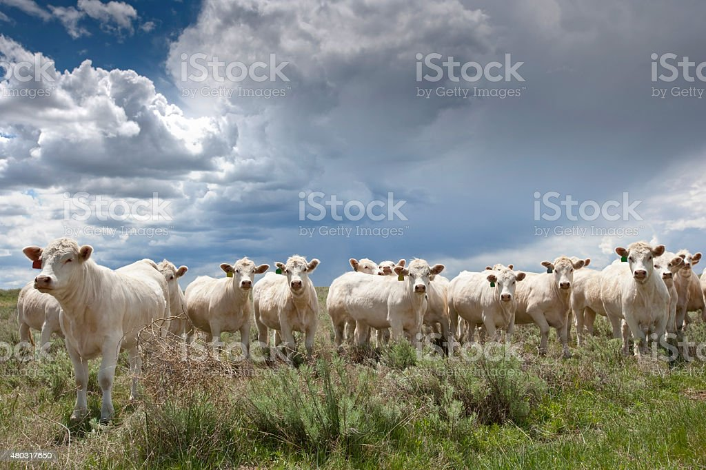 Charolais Beef Cattle, Colorado, USA stock photo