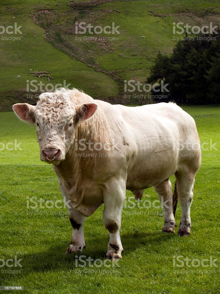Charolais bull in green fields at Scotland stock photo