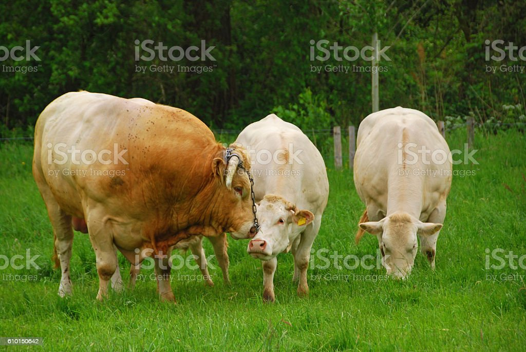Charolais Bull in love with a Cow. stock photo