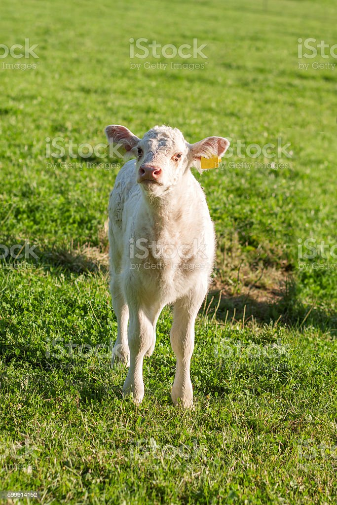 charolais calf looking up at grassland stock photo
