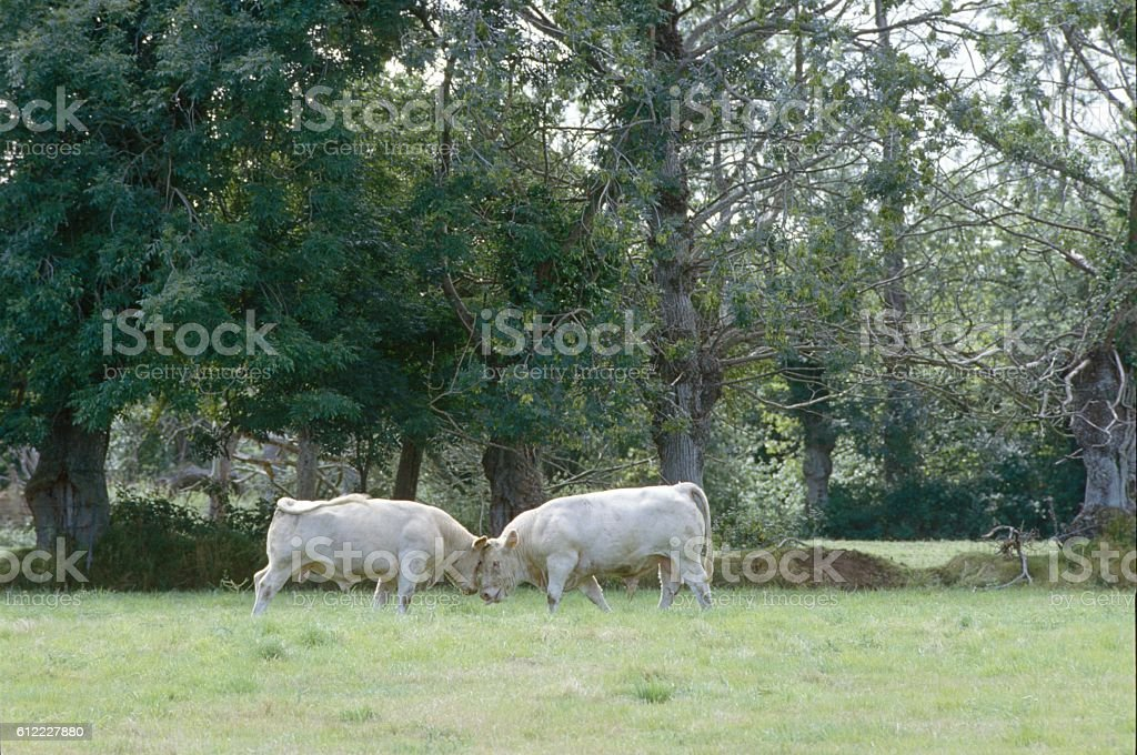Charolais cattle on pasture, Bourgogne, France stock photo