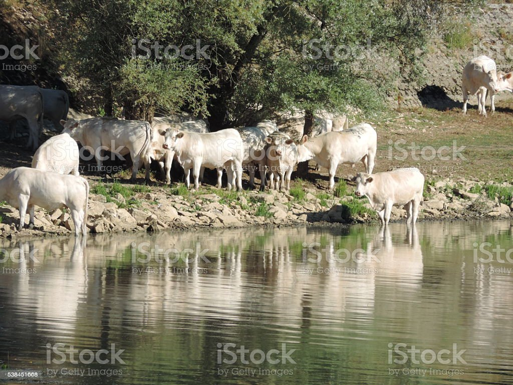 Charolais Cattle on the Rhone stock photo