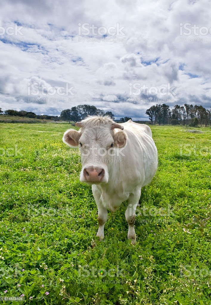 Charolais cattle stock photo