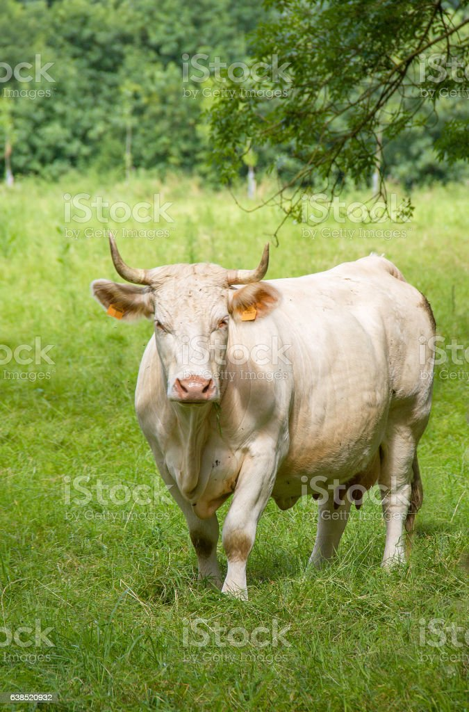 Vache charolaise en pature stock photo