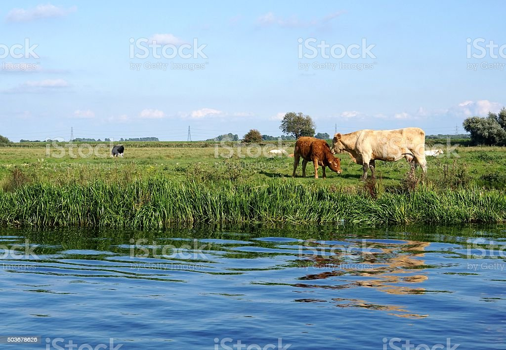 Charolais Cow Mother and Red Calf stock photo