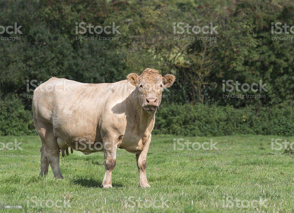 charolais cow royalty-free stock photo