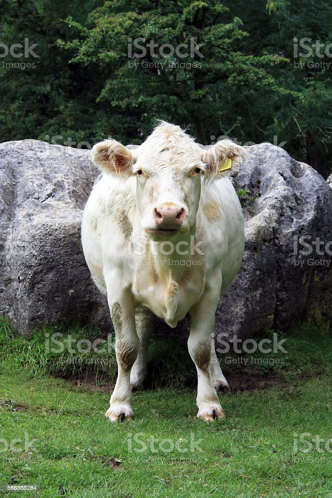 Charolais Cow portrait view/pose stock photo