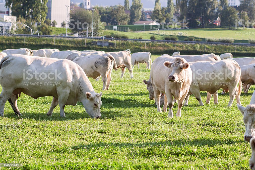 charolais cows grazing in the evening sunshine stock photo