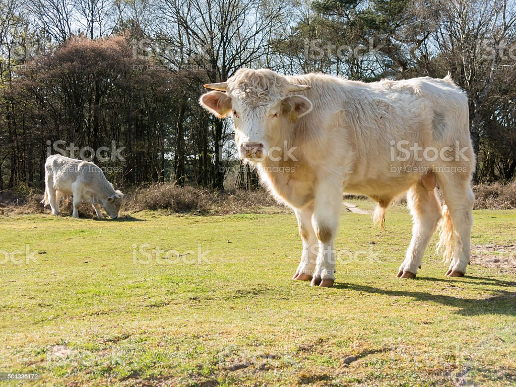 Charolais cows in fields stock photo