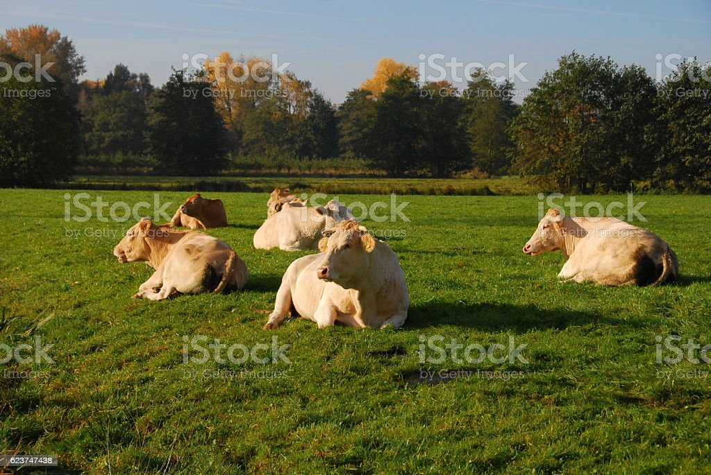 Charolais cows laying in a pasture during autumn season. stock photo