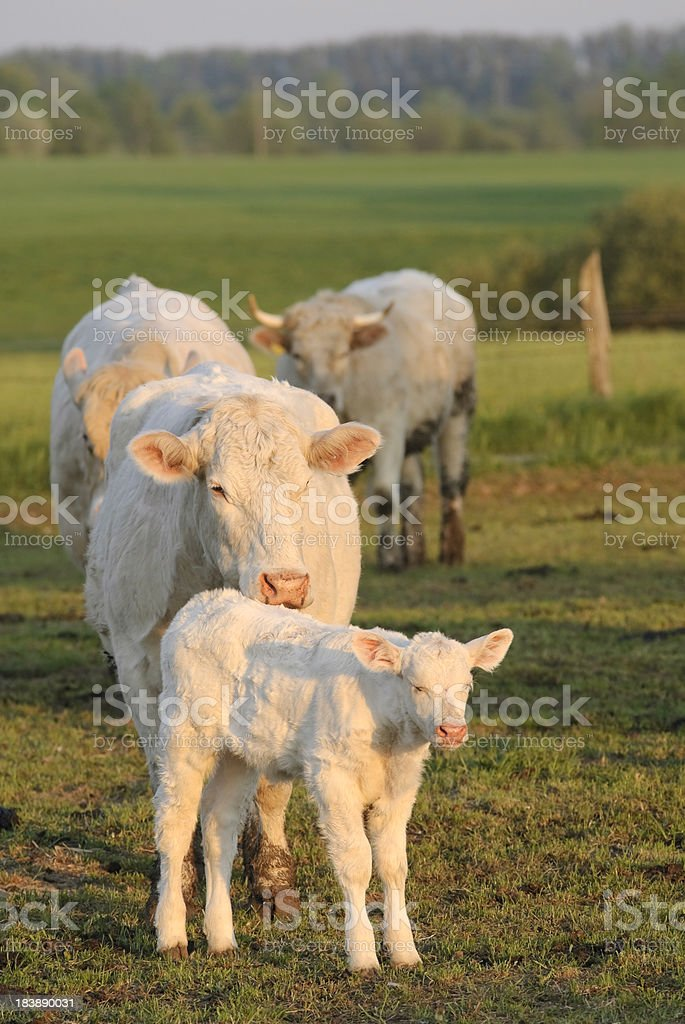 Charolais stock photo