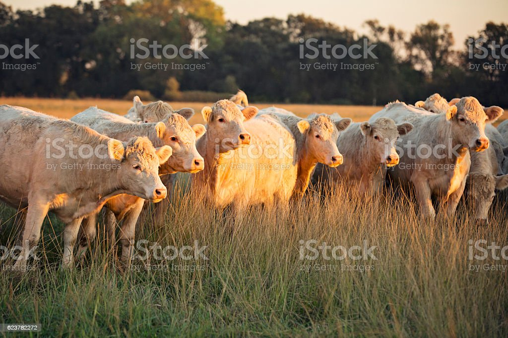 Charolais White Cattle Gathered at Sunset stock photo