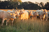 Charolais White Cattle Gathered at Sunset