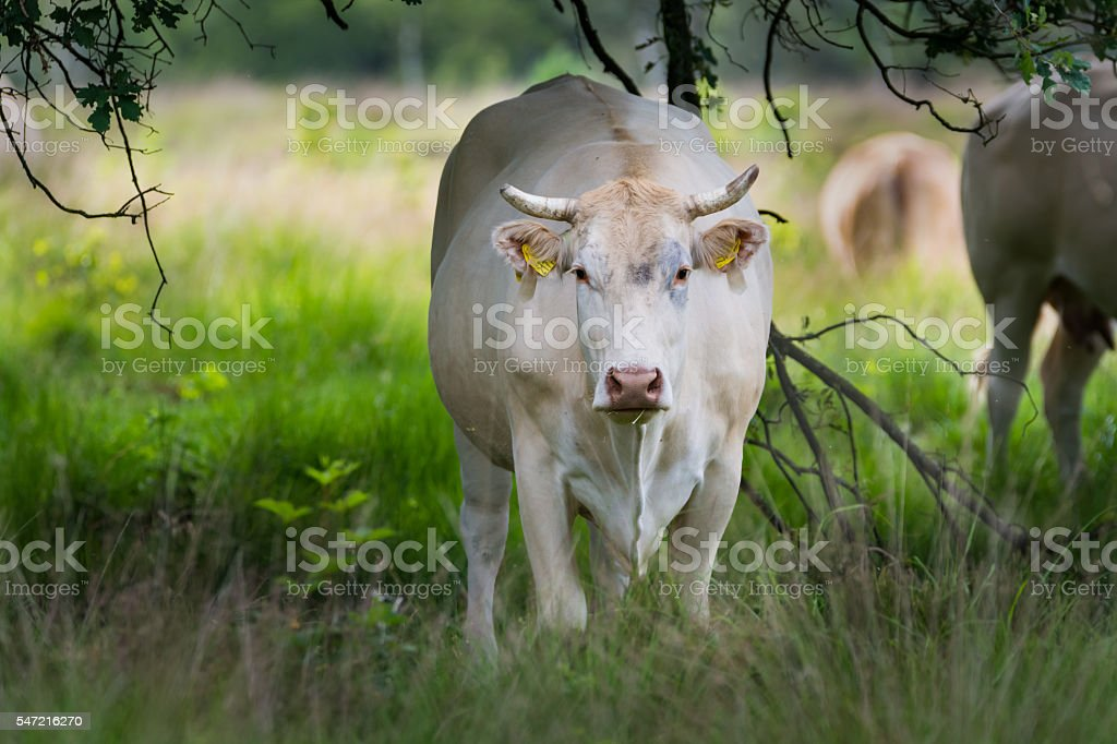Charolise white cow in the grassland stock photo