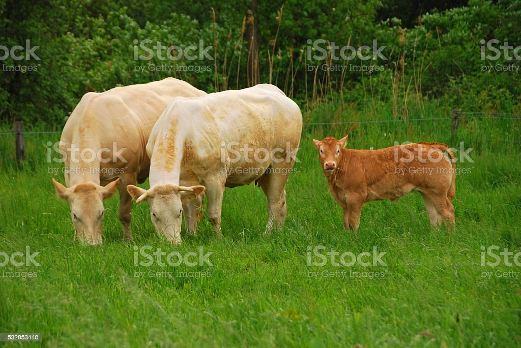 Charoloais cow and bull Calf grazing in a pasture. stock photo
