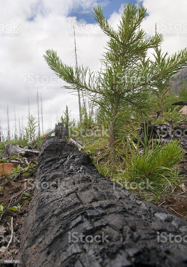 Charred tree trunk and rebirth stock photo