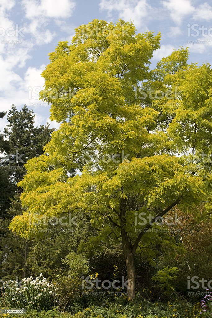 Chartreuse Tree stock photo
