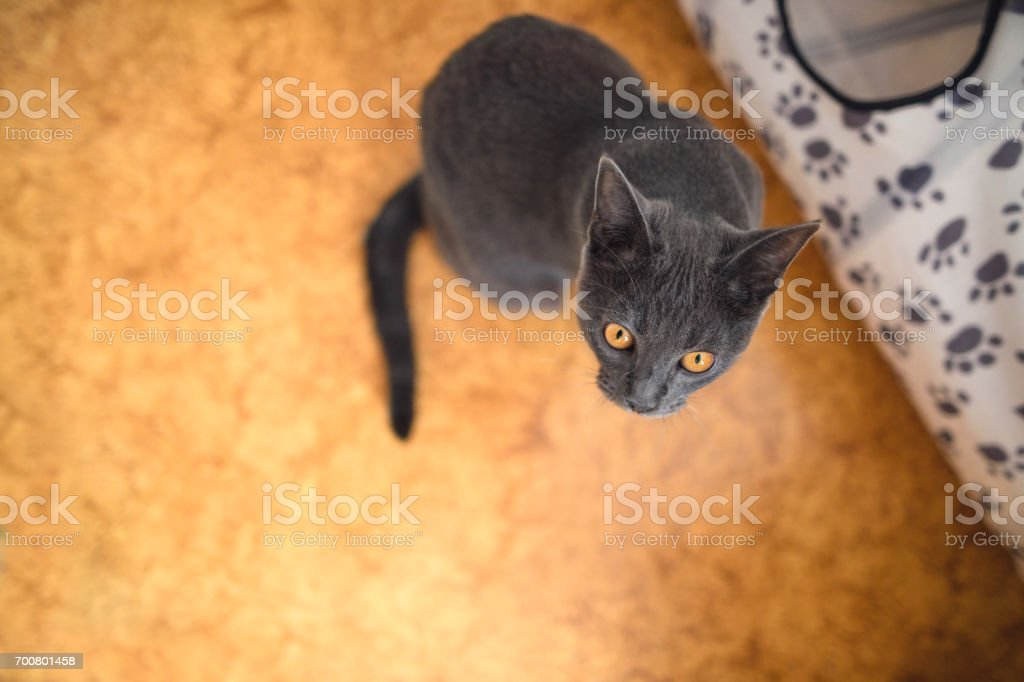 Chartreux Cat From Above stock photo