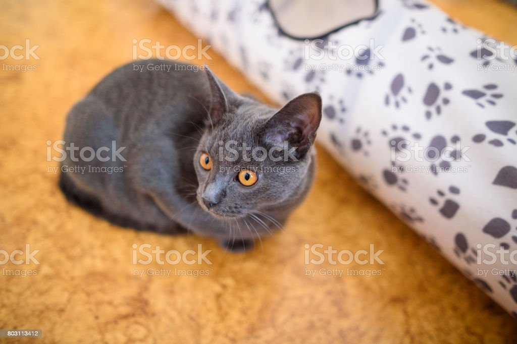 Chartreux Cat Sitting stock photo
