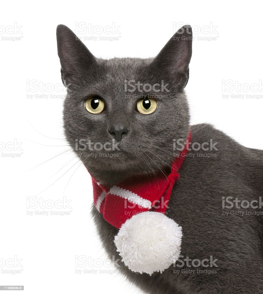 Chartreux cat wearing winter scarf, 3 years old, white background. stock photo