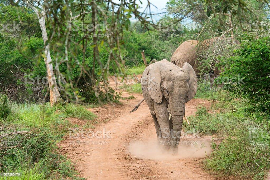 Chasing African Elephant in Akagera, Rwanda stock photo