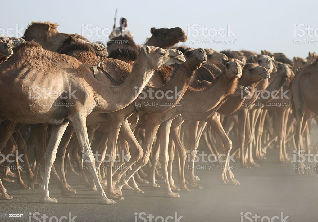 Chasing herd of camels stock photo