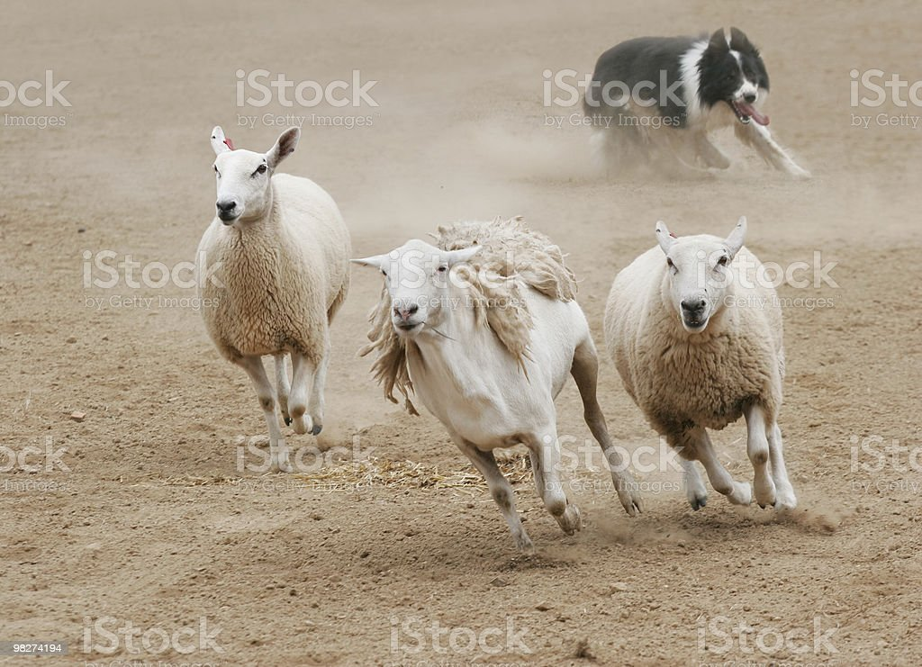 Chasing  Sheep stock photo