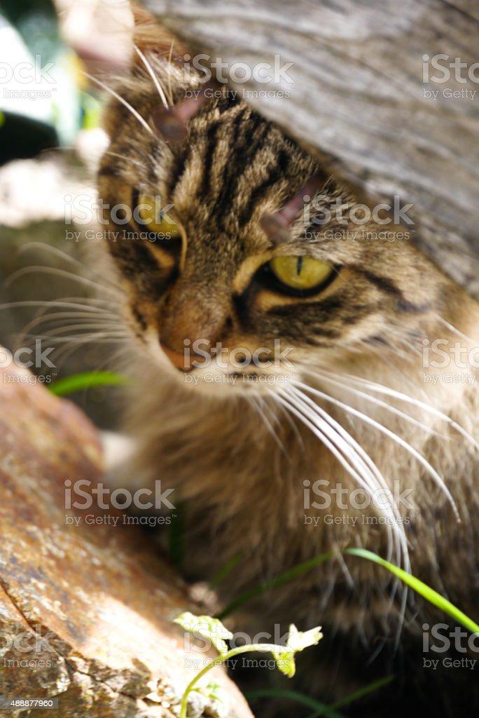 Chat europeen ce cache dans un tas de bois stock photo