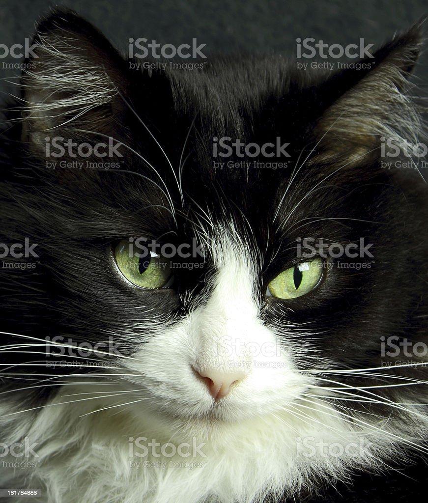Chat europ?en noir et blanc stock photo