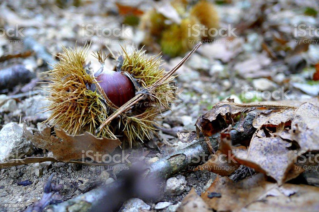 Chataigne sur le sol d'une forêt d'automne royalty-free stock photo