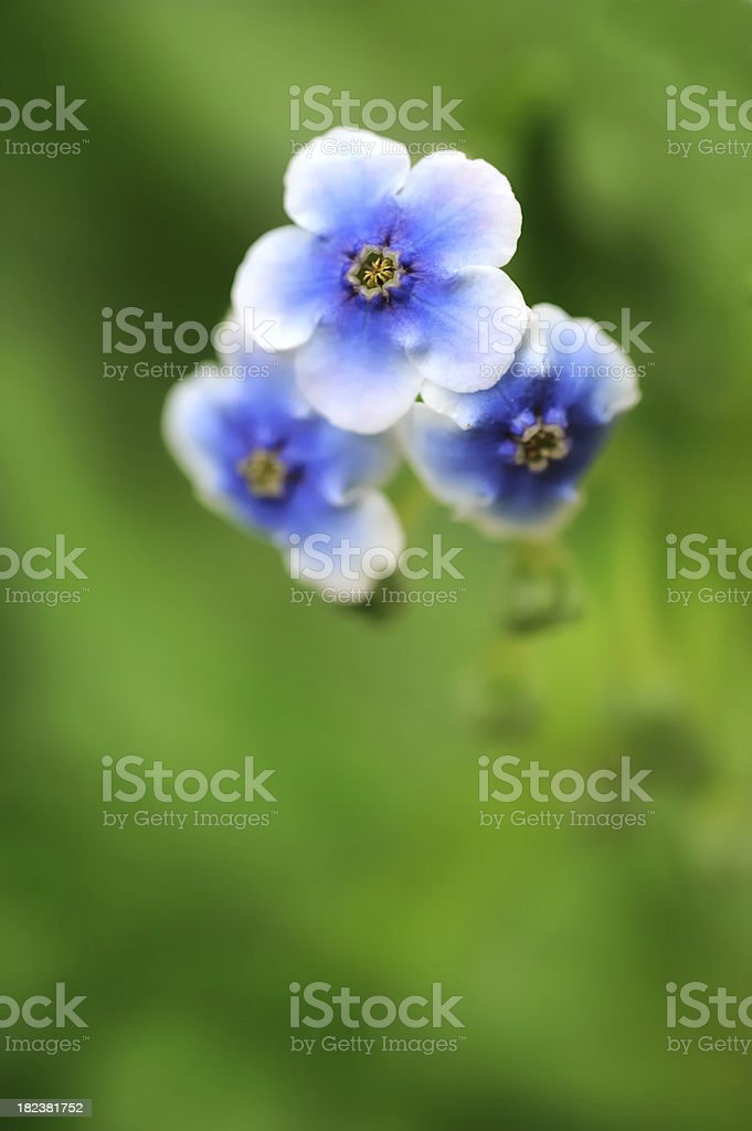 Chatham Island Forget-me-not stock photo