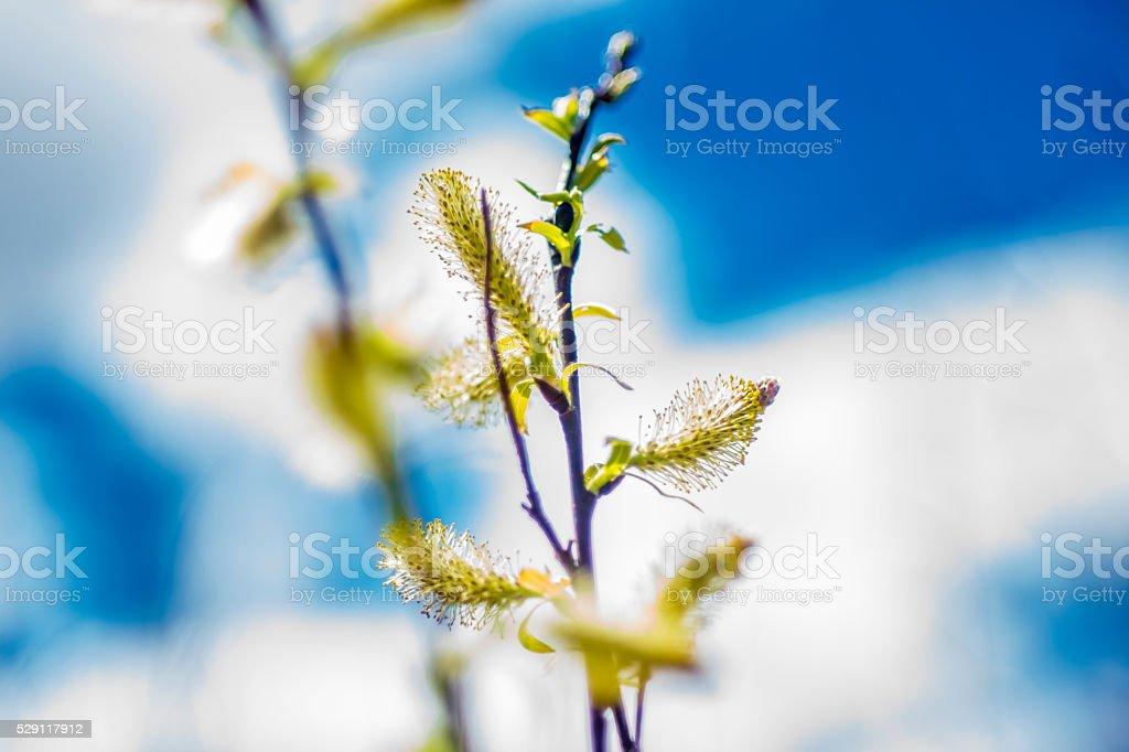 Chatons botaniques. stock photo